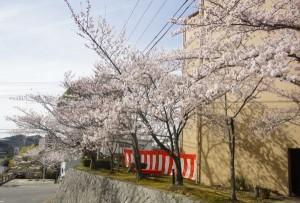 桜がきれいな時期になりました!