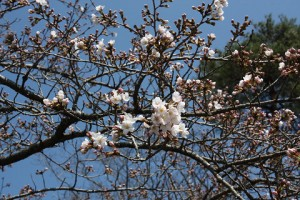 桜状況3月31日