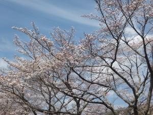 桜開花状況