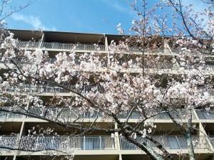 桜 2014年4月1日_2