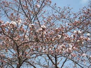 ☆桜開花状況 3月31日☆