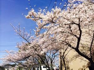 今年もきれいに桜が咲いています。