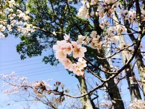 有馬の桜情報と桜まつり