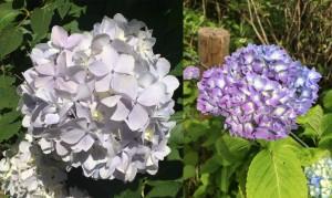 スカイヴィラの紫陽花情報