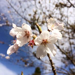 六甲山の桜と春の花々