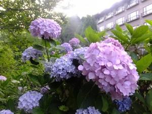 六甲山の紫陽花(アジサイ)が見ごろ♪