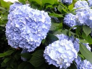 さわやかな青の紫陽花
