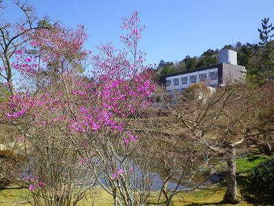ミツバツツジ 一部咲き始め 2020年3月25日現在