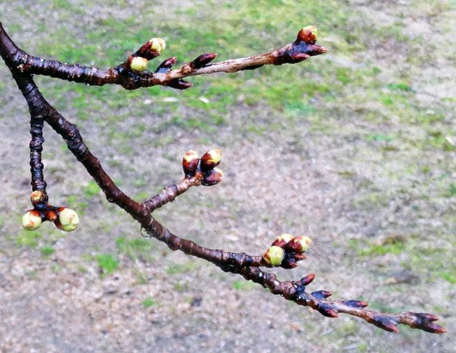 有馬の桜~まだ つぼみ