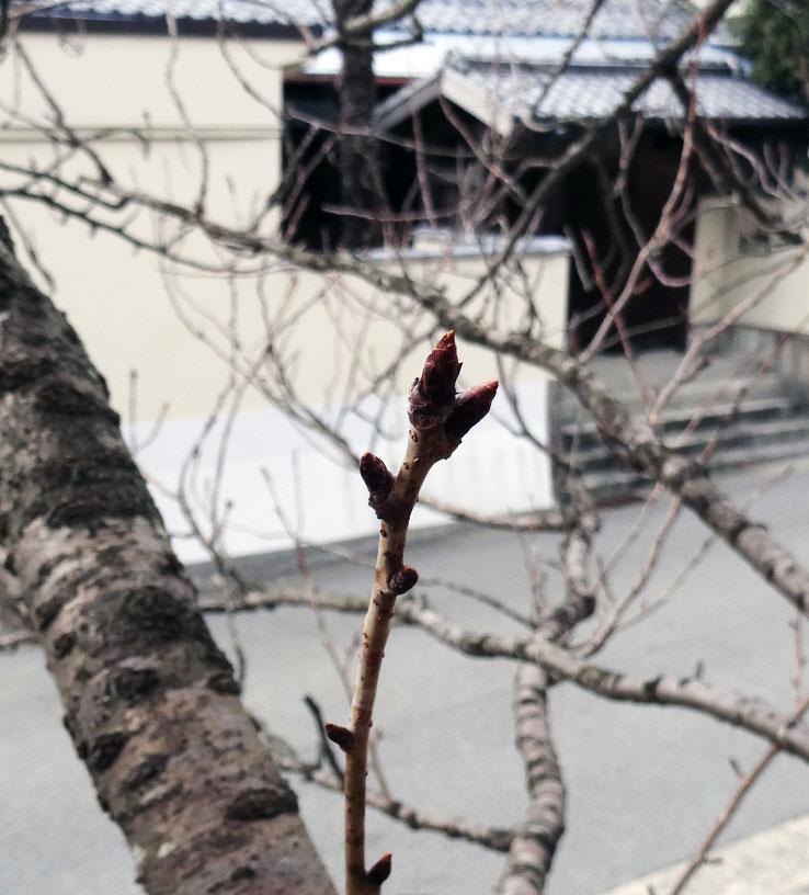 有馬の桜~まだまだ、そして梅