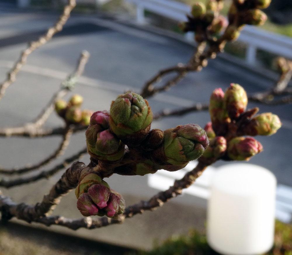 有馬の桜 3月23日~つぼみの先がピンクに