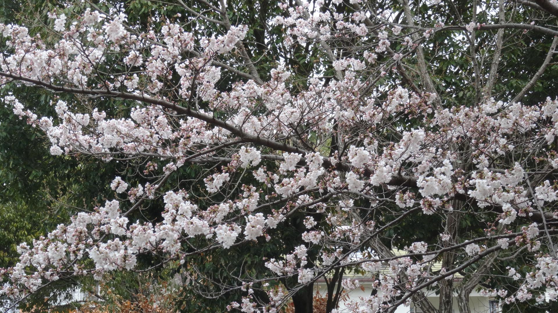 有馬の桜 3月29日~部屋から愛でる桜