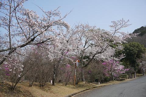 桜満開になってきました♪